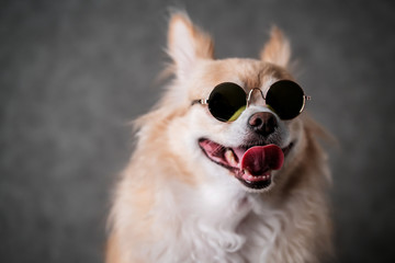 cute dog chihuahua with brown hair wear round sun glasses on black background