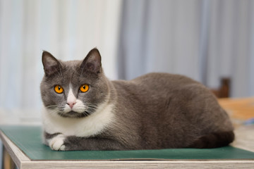 Grey Chartreux cat with yellow orange eyes. Beautiful pet.