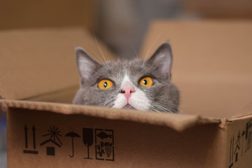 Gray cat with orange eyes in the box.