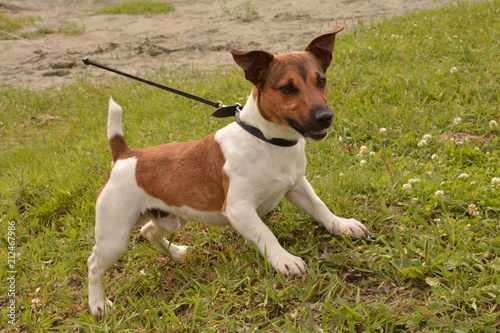 dog, puppy, friend, dog, breed, Jack Russell Terrier