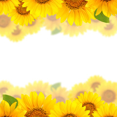 Frame of sunflowers on a white background. Background with copy space.