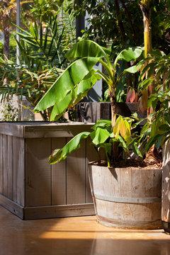 Bananier en pot dans une serre