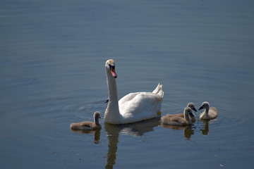 Swan family. Mother swan and baby chicks children kids swans. Birds floating on water