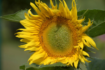 Young blossoming sunflower plant close up. Shallow depth of field. Sunny day.