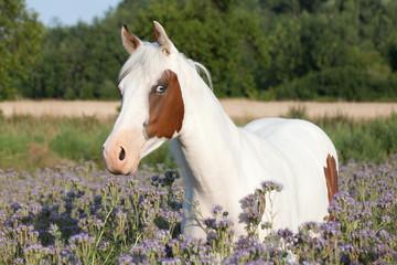 Portrait of nice paint horse on meadow violet flowers