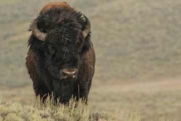 Printed kitchen splashbacks Bison Bison in Yellowstone