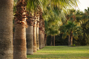 High rows of palm trees along the footpath. Beautiful view of the subtropics.