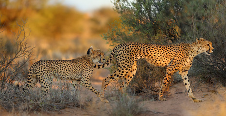 The cheetah (Acinonyx jubatus) walking across the desert. Mother and puppy cheetahs in the evening light.
