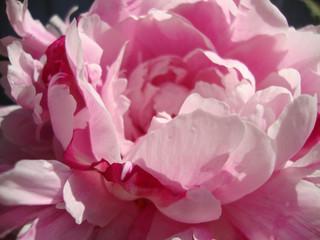 pink peony macro