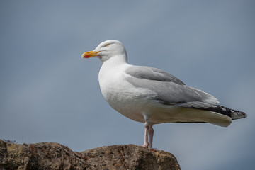 Looking up from a low angle of a  herring gull standing on a rock looking left with the clear blue sky in the background