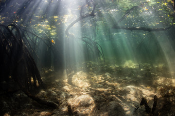 Wall Mural - Sunlight and Shadows Underwater in Mangrove Forest