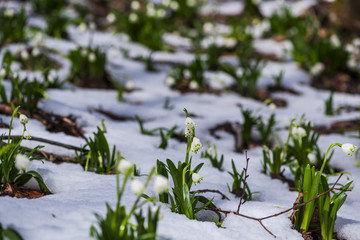 Snowdrops in the forest on the fresh snow