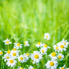 Summer Nature background with chamomile flowers