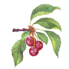 Branch of fruit black cherry with berries and leaves. Watercolor hand drawn painting illustration isolated on white background.
