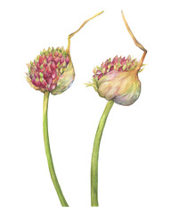 Flower of young garlic, close-up. An arrow of garlic with the ripening seeds. Watercolor hand drawn painting illustration isolated on white background.