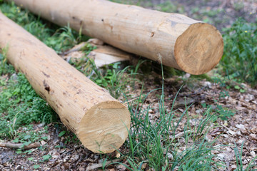 Sparked log of hardwood in the forest. Cut tree prepared for export from the forest.