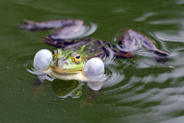 True frog in pond