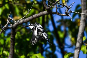 Pied Kingfisher, Graufischer