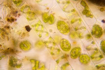 Fresh pond water plankton and algae at the microscope. Spirogyra