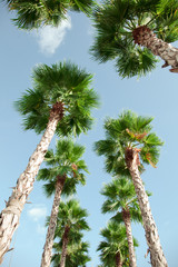 View looking up from the ground to blue sky and green palm trees