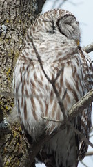 Barred Owl in the wild