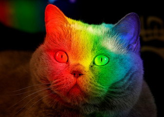 A British Blue cat is lit up by sunlight diffracted through an aquarium at an apartment in Krasnoyarsk
