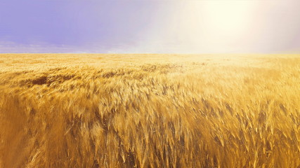 ears of wheat or barley on the field. tinted natural background
