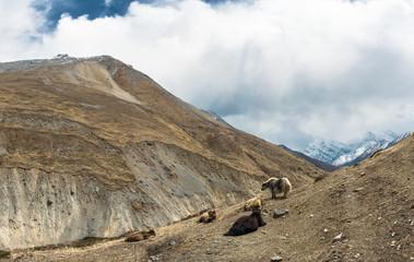 Yaks in the Himalayan mountains, Nepal.