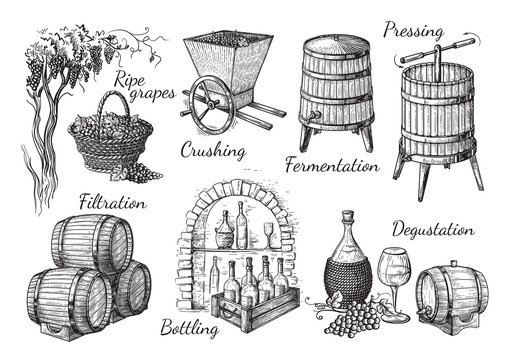process of wine production. Vector sketch illustration