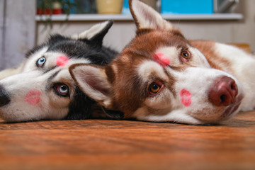 Husky dogs with red lipstick marks kiss on his heads. Siberian husky lying on the floor. Concept of love cute pet.