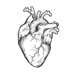 Human heart anatomically correct hand drawn line art and dotwork. Flash tattoo or print design vector illustration.