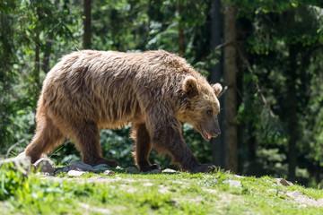 European brown bear in a forest landscape