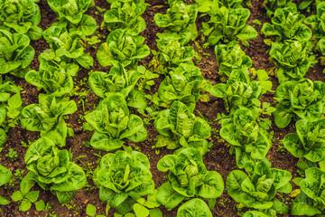 Butterhead Lettuce salad plantation, green organic vegetable leaves