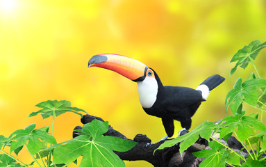Photo sur cadre textile Toucan Horizontal banner with beautiful colorful toucan bird