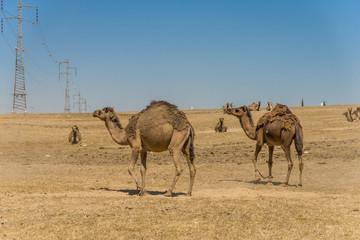 Camels in the Negev desert