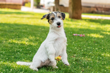 cute puppy jack russel terrier walk and play in the park