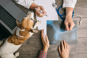 Vet visiting with dog Jack Russell terrier. Doctors desk from the top. X-ray consultation. Professional medical pet care