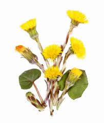 Huflattich, Blüten und Bätter