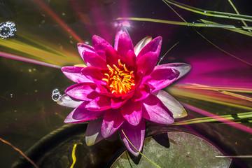Beautiful medium nymphea water lily varieties Attraction