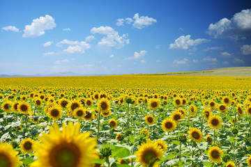 Natural landscape, Sunflower field under a clear blue sky with white clouds