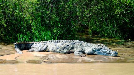 The Nile crocodile in Chamo lake, Nechisar national park, Ethiopia