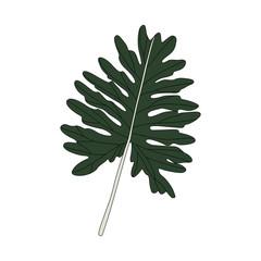 Illustration of Philodendron Xanadu leaf