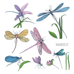 Collection of beautiful colorful dragonflies isolated on white background. Gorgeous winged insects flying and sitting on grass blades. Hand drawn vector illustration in elegant vintage style.