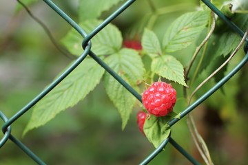 close photo of a red raspberry fruit at the garden fence
