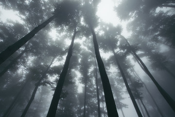 old trees in natural forest, dramatic view towards the sky