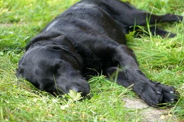 Schwarzer Labrador Retriever