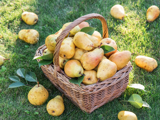 Ripe pears in the basket on the green grass.