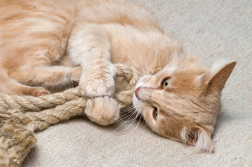 the cat plays with a rope