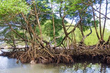 Mangroves in the Caribbean on Samana :)