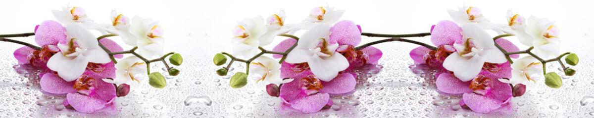 Beyaz ve Pembe Orkide Panoramik